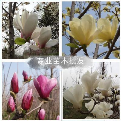 山东省临沂市平邑县白黄红玉兰 白、黄、紫玉兰花