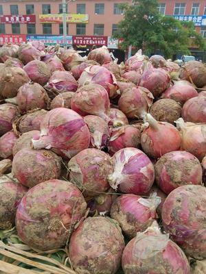 河南省开封市通许县二红洋葱 9cm以上