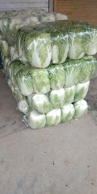 湖北省荆门市钟祥市黄心大白菜 6~10斤 净菜