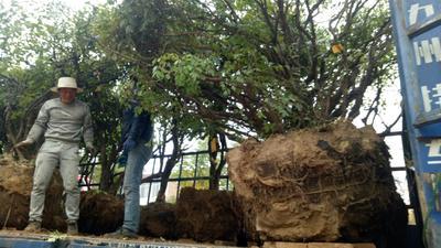 甘肃省定西市临洮县紫斑牡丹 1~1.5米 4~6cm 4cm以下