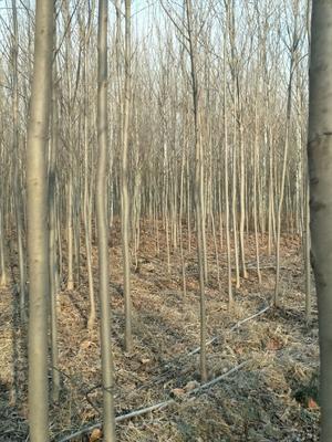 山东省菏泽市郓城县速生白蜡 5米以上