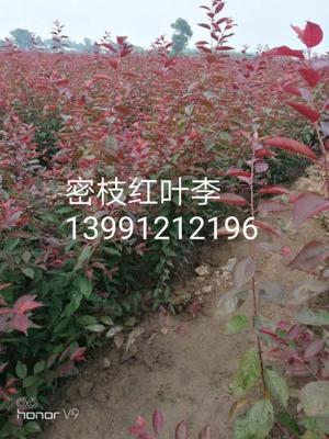 陕西省西安市户县密枝红叶李