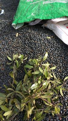 这是一张关于二叶桢楠苗的产品图片