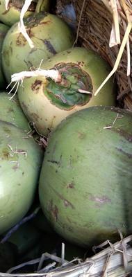 北京丰台区高种椰子 6斤以上