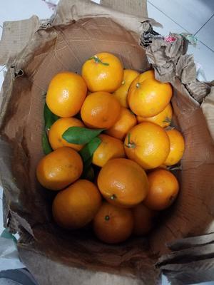 广西壮族自治区百色市平果县沃柑 统货 3两以上