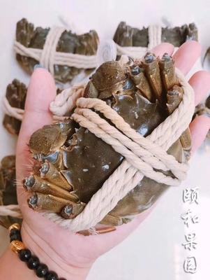 湖北省鄂州市鄂城区阳澄湖大闸蟹 统货 2.0-2.5两