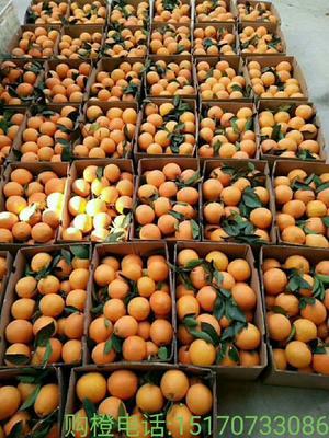 这是一张关于赣南脐橙 75 - 80mm 4-8两的产品图片