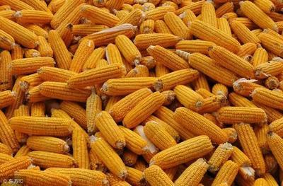 宁夏回族自治区石嘴山市大武口区玉米干粮 杂质很少 水份17%-20%