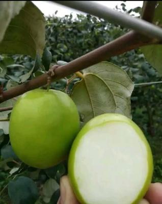 这是一张关于台湾青枣 直口 50g以上的产品图片