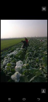 这是一张关于旺旺甘蓝 2.0~2.5斤的产品图片