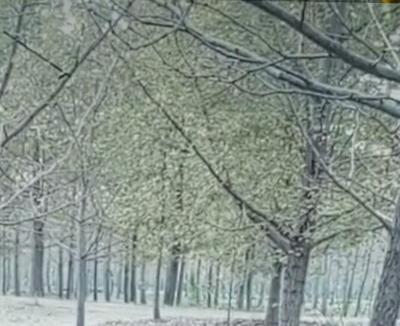 山东省淄博市沂源县银杏实生树