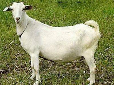 安徽省合肥市肥西县白山羊 30-50斤