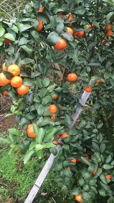 广西壮族自治区桂林市秀峰区沙糖桔 统货 1 - 1.5两