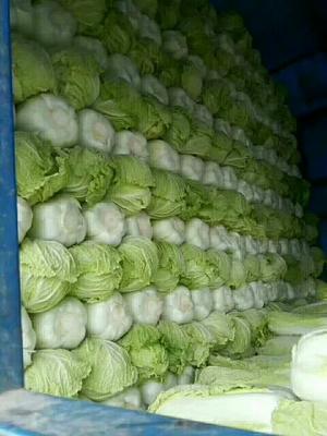 这是一张关于青麻叶大白菜 通货 净菜的产品图片