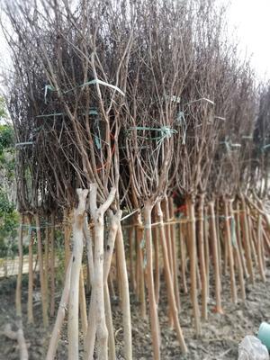 江苏省常州市武进区紫薇树  供应占地,行道树紫薇