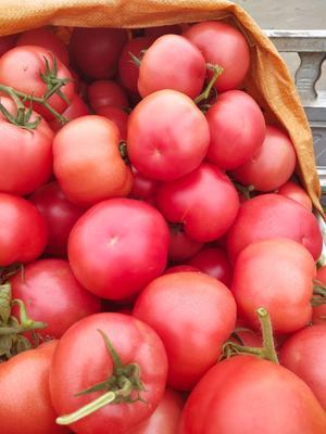 山东省临沂市费县硬粉番茄 精品 弧二以上 硬粉
