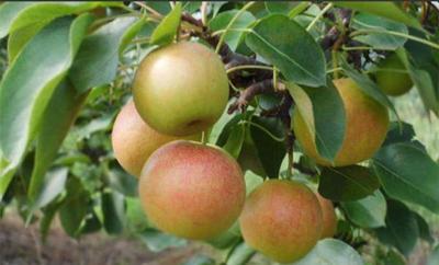 山东省泰安市泰山区玉露香梨树苗 2.0~2.5米