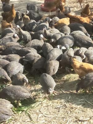 河北省廊坊市固安县银斑珍珠鸡 2-4斤
