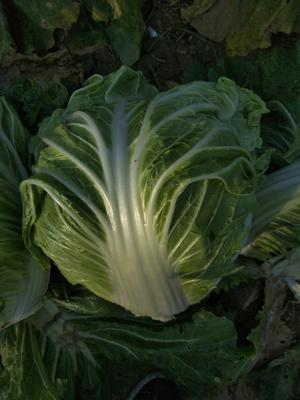 这是一张关于秦白2号 6~10斤 净菜的产品图片