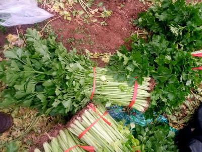 山东省潍坊市诸城市法国皇后芹菜 45~50cm 1.0~1.5斤 大棚种植