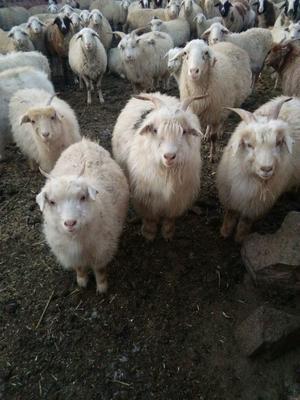 这是一张关于山羯羊  30-50斤 生肉的产品图片
