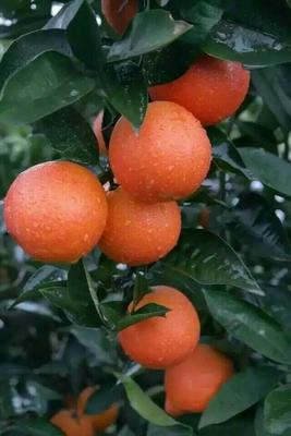 这是一张关于塔罗科血橙 65 - 70mm 4-8两的产品图片