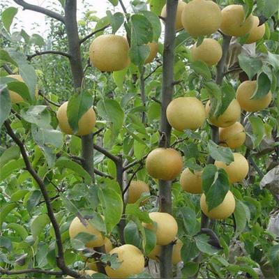 山东省泰安市泰山区秋月梨树苗 2.0~2.5米