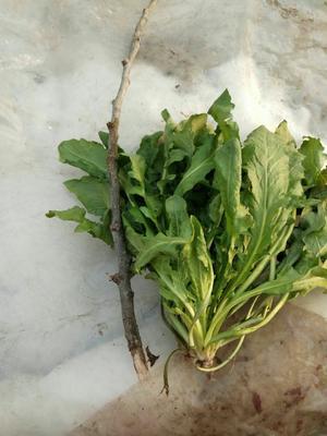 这是一张关于板叶荠菜 5~10cm的产品图片