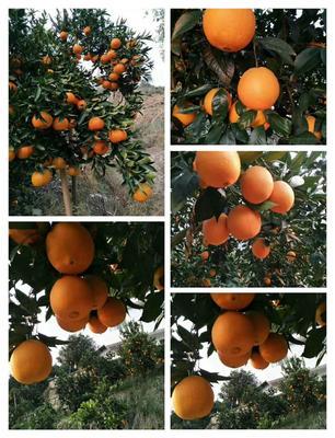 这是一张关于奉节脐橙 75 - 80mm 4-8两的产品图片