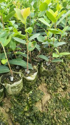 这是一张关于白茶树苗 嫁接苗 0.5米以下的产品图片