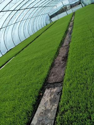 这是一张关于 稻花香大米 一等品 一季稻 粳米的产品图片