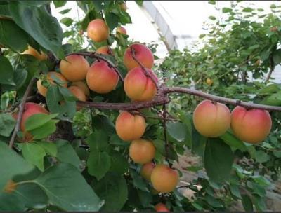 山东省泰安市泰山区丰园红杏苗