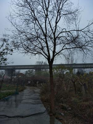 安徽省合肥市包河区乌桕