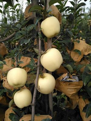 这是一张关于维纳斯黄金苹果苗 1~1.5米的产品图片