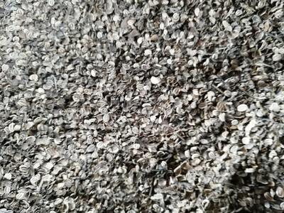 重庆万州区前胡  2年生优质白花前胡种