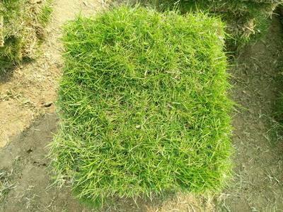 这是一张关于台湾草皮的产品图片