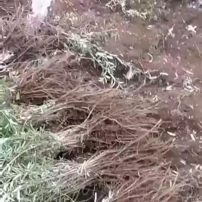 甘肃省定西市漳县其它苗木  50起步沙棘苗