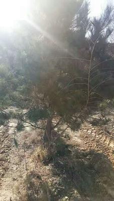 山西省忻州市忻府区山地油松