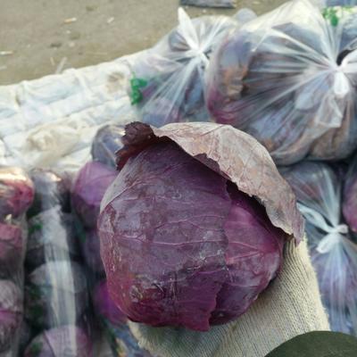 这是一张关于紫甘蓝 1.0~1.5斤的产品图片
