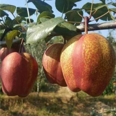 山东省泰安市泰山区早酥红梨苗 2.0~2.5米