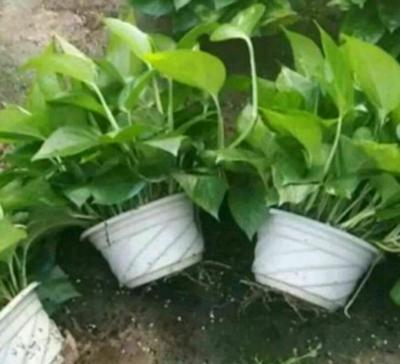 云南省昆明市呈贡区绿萝