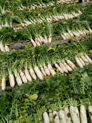 这是一张关于韩国白萝卜 2.5~3斤的产品图片