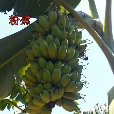 广西壮族自治区钦州市灵山县粉蕉苗  安南蕉 西贡蕉 桂蕉