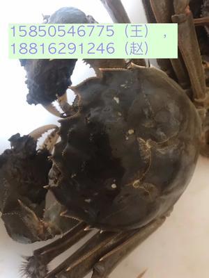 这是一张关于固城湖河蟹 3.0-3.5两 统货的产品图片