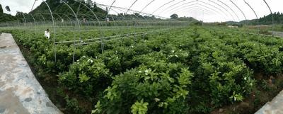 这是一张关于三红蜜柚苗的产品图片