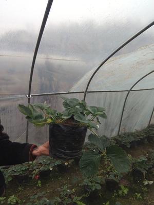 贵州省六盘水市六枝特区草莓种子