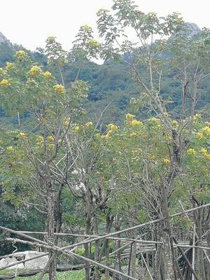 这是一张关于黄花风铃木  10公分以上的产品图片