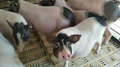 这是一张关于巴马香猪  20斤以下 整头一盒(4斤)。的产品图片