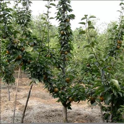 这是一张关于黄梨苗 0.5米以下的产品图片