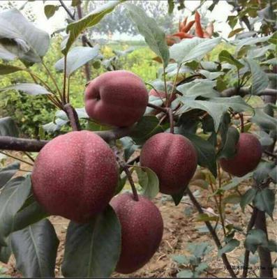 山东省泰安市泰山区全红梨树苗 2.0~2.5米